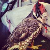 falcon2